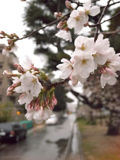 Sakura_ame