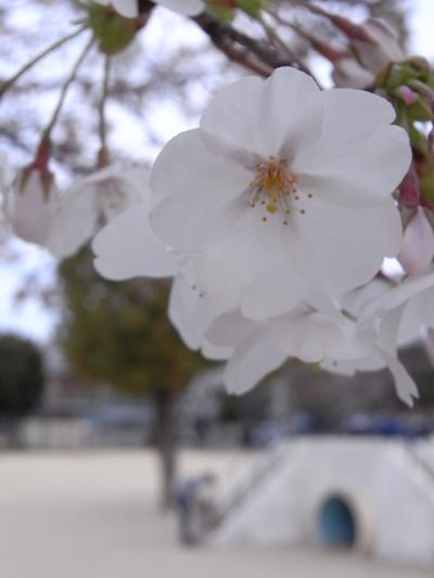 Sakura_2009_01