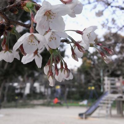 Sakura_2009_02