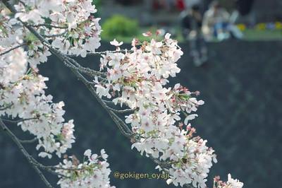 Sakura201412s