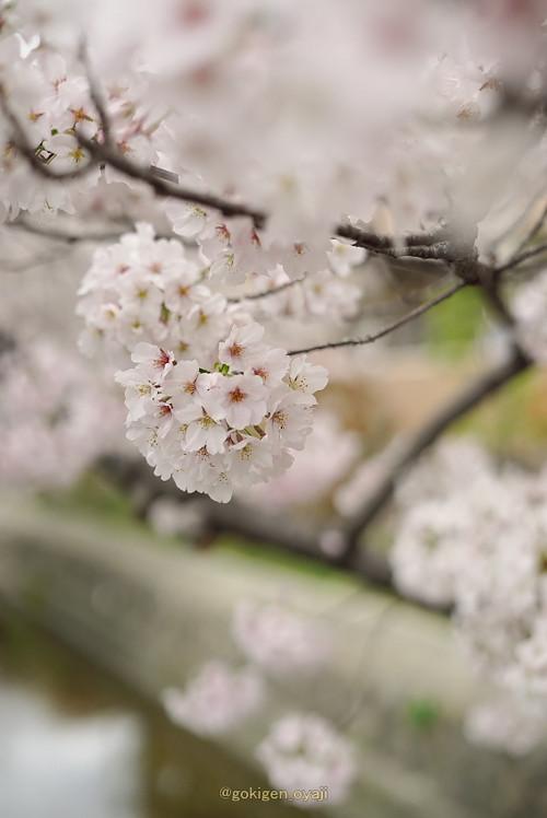 Sakura2017_01