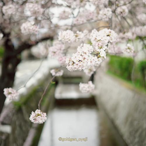 Sakura2017_04